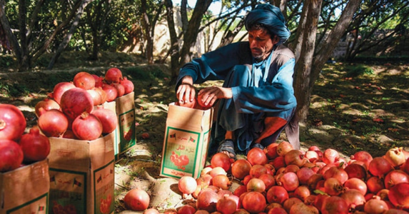 Afghan pomegranates rot as export to India stopped